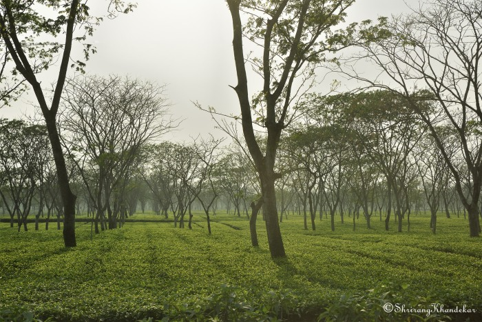 Tea plantation in Jalpaiguri